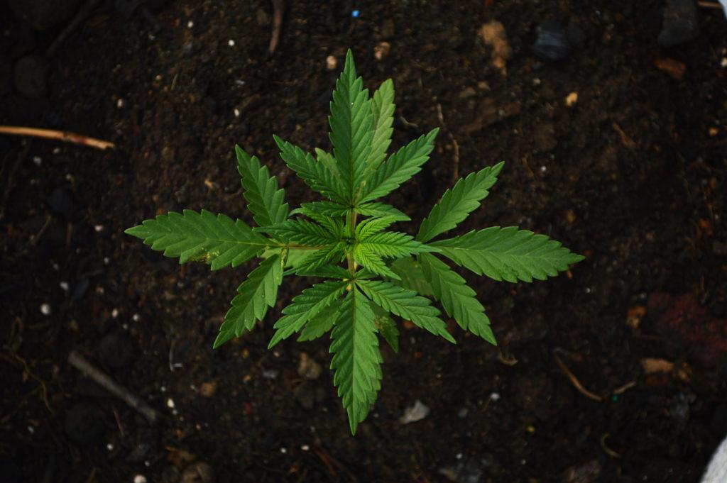 How To Grow Cannabis 10 Easy Steps