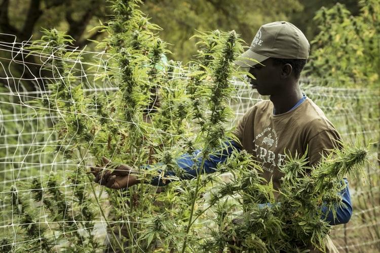 Thrips on Marijuana Plants