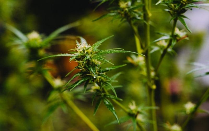 Spider Mites on Cannabis Plants